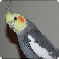 Adopt A Pet :: Spike - St. Louis, MO