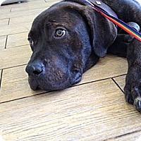 Adopt A Pet :: Brutus - Los Angeles, CA