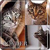 Adopt A Pet :: Bonder - Chicago, IL