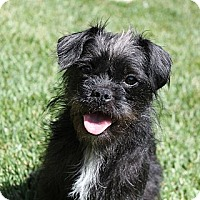 Adopt A Pet :: Ceile - La Habra Heights, CA