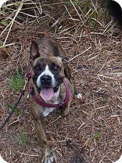Pit Bull Terrier Mix Dog for adoption in Jupiter, Florida - Kurby