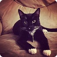 Adopt A Pet :: Mittens - Las Vegas, NV