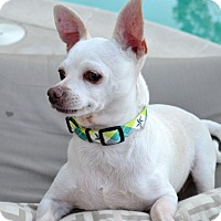 Chihuahua/Terrier (Unknown Type, Small) Mix Dog for adoption in Los Angeles, California - Tommy