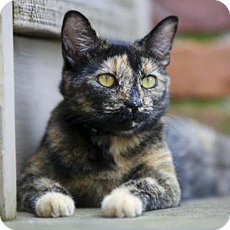 Domestic Shorthair Kitten for adoption in Kettering, Ohio - Honeychild