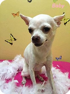 Chihuahua Dog for adoption in Newport, Kentucky - Baby