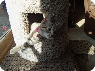 Domestic Shorthair Kitten for adoption in Manitowoc, Wisconsin - Rosie