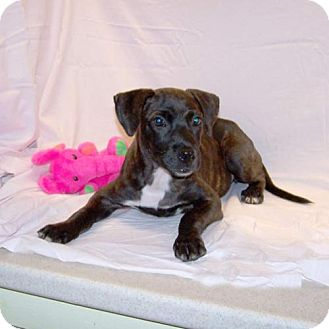 Terrier (Unknown Type, Medium) Mix Puppy for adoption in Fayetteville, Tennessee - 16-d09-016 Roza