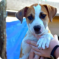 Labrador Retriever/German Shepherd Dog Mix Puppy for adoption in Winter Park, Colorado - Fred