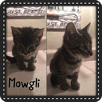 Domestic Shorthair Kitten for adoption in Denver, Colorado - Mowgli