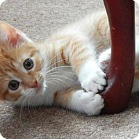 Adopt A Pet :: Lilo - Austintown, OH