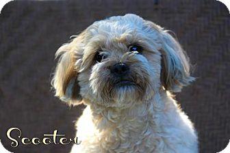 Shih Tzu/Poodle (Miniature) Mix Dog for adoption in Benton, Louisiana - Scooter