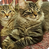 Maine Coon Cat for adoption in Lyons, Illinois - Bruno