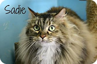 Domestic Longhair Cat for adoption in West Des Moines, Iowa - Sadie