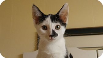 Domestic Shorthair Kitten for adoption in Amherst, Massachusetts - Smudge