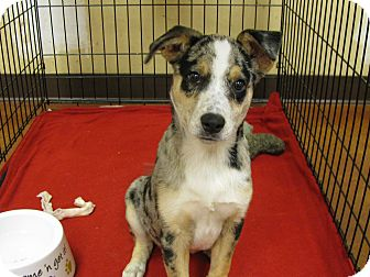 Australian Shepherd Mix Puppy for adoption in Groton, Massachusetts - Sam