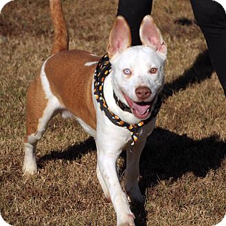 Basenji/Husky Mix Dog for adoption in Goodlettsville, Tennessee - Rocky