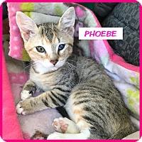 Adopt A Pet :: Phoebe - Miami, FL