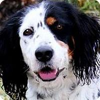 Adopt A Pet :: MISS LIZ(WOW! PB ENG. SETTER!! - Wakefield, RI