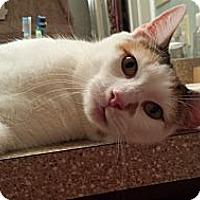 Adopt A Pet :: Sookie - Acme, PA