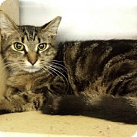 Adopt A Pet :: Tom Cat - Oviedo, FL