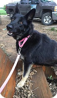 German Shepherd Dog Dog for adoption in Fort Worth, Texas - Schatzi