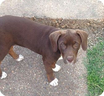 Rottweiler/Terrier (Unknown Type, Medium) Mix Puppy for adoption in CARISLE, Pennsylvania - Brownie
