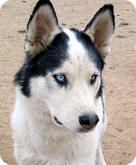 Siberian Husky Mix Dog for adoption in Cedar Crest, New Mexico - Haisten