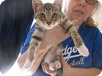 Domestic Mediumhair Kitten for adoption in el mirage, Arizona - Taylor