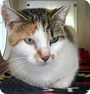 Domestic Shorthair Cat for adoption in Gloucester, Virginia - FLOWER