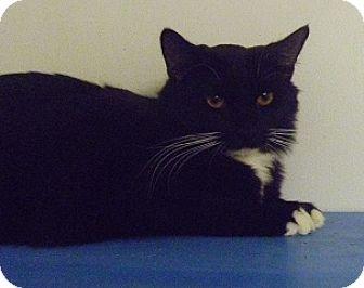 Domestic Longhair Cat for adoption in Hamburg, New York - Bear