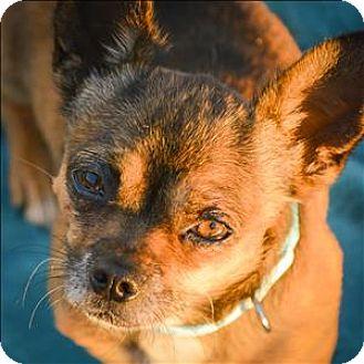 Chihuahua Mix Dog for adoption in Vallejo, California - Konki