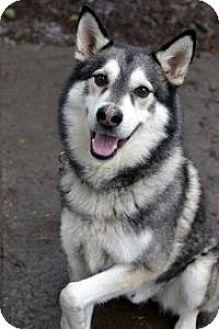 Alaskan Malamute Mix Dog for adoption in Seattle, Washington - MYAGI