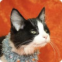 Domestic Shorthair Kitten for adoption in Jackson, Michigan - Bobby