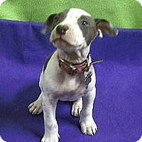 Terrier (Unknown Type, Medium) Mix Puppy for adoption in Detroit, Michigan - Jenny