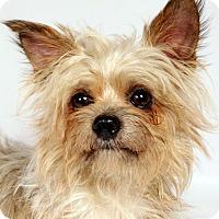 Adopt A Pet :: Leonard Yorki Griffon - St. Louis, MO