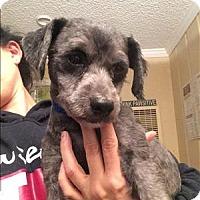 Adopt A Pet :: Shadow - Encino, CA