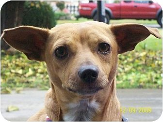 Chihuahua/Dachshund Mix Dog for adoption in Rancho Cordova, California - Ginger