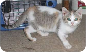 Calico Kitten for adoption in Colmar, Pennsylvania - McGinley