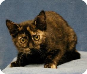 Domestic Shorthair Cat for adoption in Sacramento, California - Katie