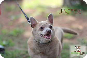 Chihuahua Mix Dog for adoption in Alpharetta, Georgia - Jasper