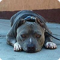 Adopt A Pet :: HEMINGWAY - Tujunga, CA
