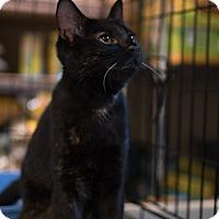 Adopt A Pet :: Dottie(Loving Torti Kitten) - Arlington, VA