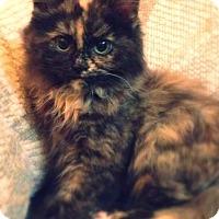 Adopt A Pet :: Powder Puff - Green Bay, WI