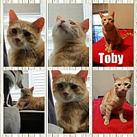 Domestic Shorthair Cat for adoption in Eastpointe, Michigan - Toby