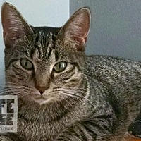 Domestic Shorthair Cat for adoption in Mendota, Illinois - Ivy