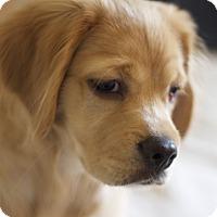 Adopt A Pet :: Teddy Bear - Santa Barbara, CA