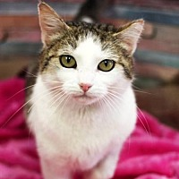 Domestic Shorthair Cat for adoption in Shell Lake, Wisconsin - Tilly