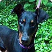 Adopt A Pet :: Dobbie - Bellevue, WA