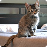 Domestic Shorthair Kitten for adoption in Nashville, Tennessee - Bowie