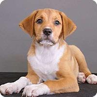 Adopt A Pet :: Brandi - Sudbury, MA